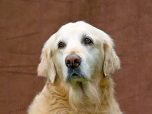 Golden Retriever GR adult portrait Stock Photos