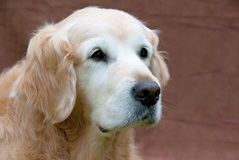 Golden Retriever GR portrait of elderly dog Stock Photos