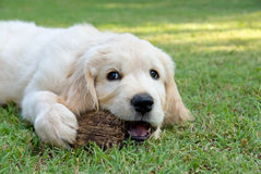 Golden Retriever GR puppy in garden Stock Image