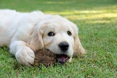 Golden Retriever GR puppy in garden stock image