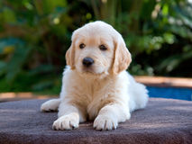 Golden Retriever GR puppy lying down Stock Photos