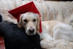 Golden retriever in a graduation cap. Close-up portrait of English White Golden Retriever in a red graduation cap stock photo