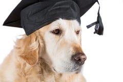 Golden Retriever with graduation cap Royalty Free Stock Photo