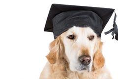 Golden Retriever with graduation cap Stock Images