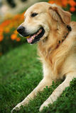 Golden retriever in grass. Golden retriever on green grass in park royalty free stock photo