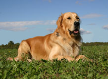 Golden retriever in grass Royalty Free Stock Images
