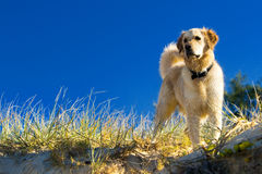 Golden retriever in the grass Stock Photo