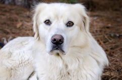 Golden Retriever Great Pyrenees mixed breed dog. Large fluffy white and black Border Collie Great Pyrenees mixed breed dog Royalty Free Stock Photos