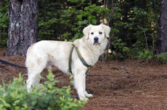 Golden Retriever Great Pyrenees mixed breed dog royalty free stock photos
