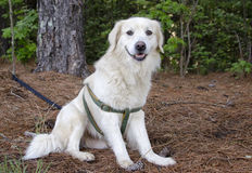 Golden Retriever Great Pyrenees mixed breed dog. Large fluffy white and black Border Collie Great Pyrenees mixed breed dog Royalty Free Stock Photo