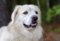 Golden Retriever Great Pyrenees mixed breed dog. Large fluffy white and black Border Collie Great Pyrenees mixed breed dog Stock Photo