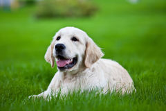 Golden retriever on the green grass Royalty Free Stock Images