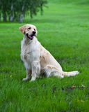 Golden retriever on green grass Stock Photos