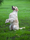 Golden retriever on green grass Stock Photography