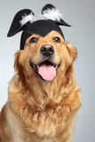 Golden retriever on grey background Royalty Free Stock Images