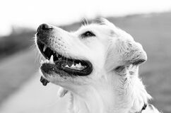 Golden Retriever Greyscale Photography Stock Photography