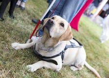 Golden retriever guide dog stock image