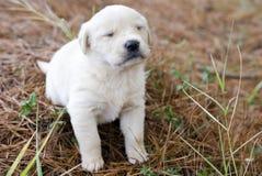 Golden retriever-Hündchen mit dem Augen geschlossenen Blinken Lizenzfreie Stockfotografie