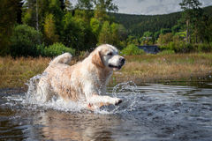 Golden Retriever has fun at a lake. In the black forest royalty free stock photo