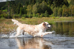 Golden Retriever has fun at a lake. In the black forest stock image