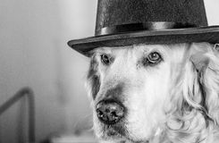 Golden Retriever with a hat Stock Images