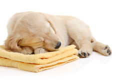 Golden retriever having a nap Stock Photography