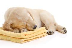 Golden retriever having a nap stock photography