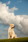 Golden Retriever with head in the clouds Stock Photo