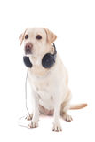 Golden retriever with headphones sitting isolated on white Royalty Free Stock Photo