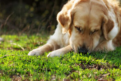 Golden retriever hermoso del perro en el verano que descansa en naturaleza Fotografía de archivo