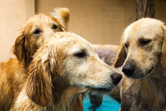 Golden retriever hermoso del perro que se sienta en la piscina imagenes de archivo