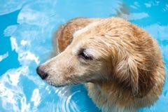 Golden retriever hermoso del perro que se sienta en la piscina Foto de archivo libre de regalías