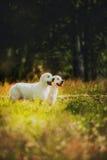 Golden retriever in het dorp Royalty-vrije Stock Foto's