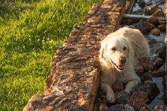 Golden retriever het Rusten Royalty-vrije Stock Afbeelding