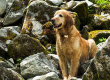 Golden Retriever on Hike. Golden Retriever sitting on rocks on a hike in western Washington Royalty Free Stock Images