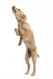 Golden retriever on hind legs Royalty Free Stock Image