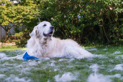 Golden retriever holding brush. Golden retriever with brush surrounded by fur stock images