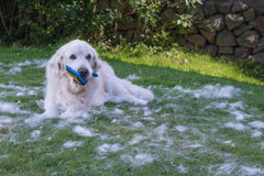 Golden retriever holding brush. Surrounded by hair having been groomed royalty free stock photography