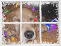 Golden retriever with holiday lights in window Royalty Free Stock Images
