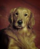 Golden retriever hoofdschot Royalty-vrije Stock Afbeelding