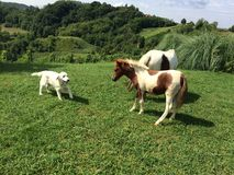 Golden retriever with horses. On grass Stock Images