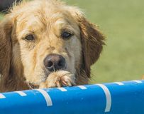 Golden retriever humide avec la patte sur la piscine de plongée pour des chiens de dock Image stock