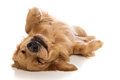 Golden retriever-Hund auf seinem zurück Stockbild