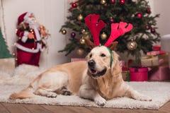 Golden retriever-Hund in den Geweihen Lizenzfreie Stockfotografie