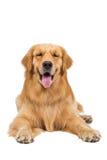 Golden retriever-Hund, der auf lokalisiertem weißem Hintergrund sitzt Stockfotografie