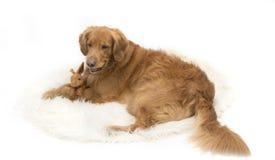 Golden retriever-Hund, der ein Spielzeugkaninchen umarmt Lizenzfreie Stockbilder
