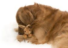 Golden retriever-Hund, der ein Spielzeugkaninchen umarmt Lizenzfreie Stockfotos