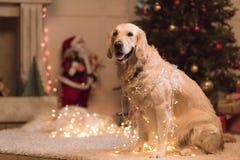 Golden retriever-Hund in der Girlande Stockfotos