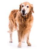 Golden retriever-Hund, der im Studio aufwirft Lizenzfreie Stockfotografie