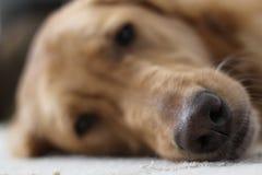 Golden retriever-Hund, der mit Nase im Fokus niederlegt Stockfotos